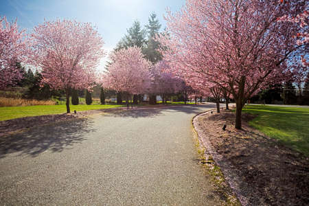 Bright sunshine lights up a row of flowering cherry trees  photo