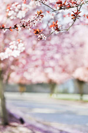 Drive lined with flowering spring trees; shallow DOF