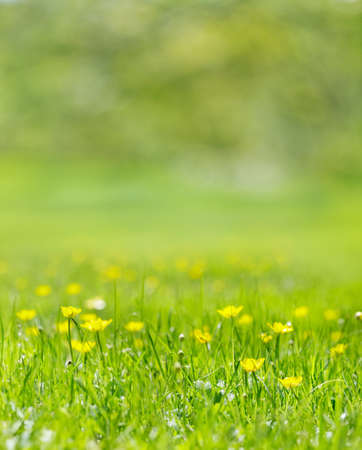 Grass filled with yellow buttercups in the summer sun Stock Photo - 9821596