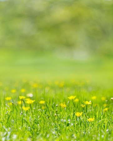 Vertical: Pasto lleno de especies del g�nero amarillos en el sol de verano