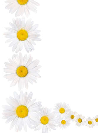 Border of oxeye daisies