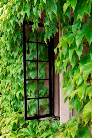 open windows: Open cottage window amid a sea of creeping vine Stock Photo