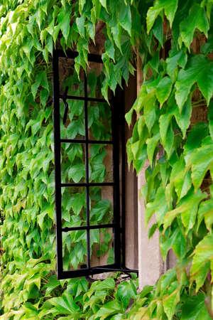 windows frame: Open cottage window amid a sea of creeping vine Stock Photo