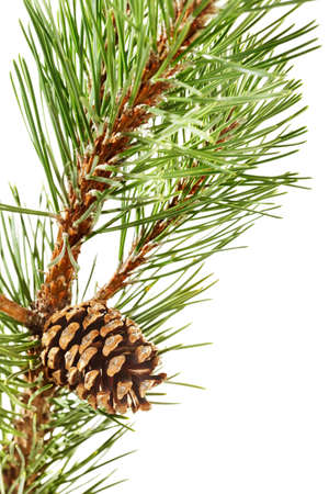 mugo: Mugo pine branch with cone
