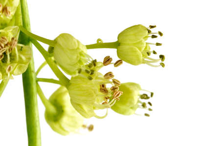 Spring flowers of the big leaf maple tree, acer macrophyllum photo