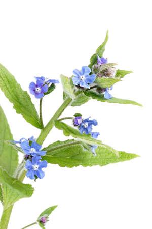 Blue wild comfrey (cynoglossum virginianna) flowers Stock Photo - 9925740