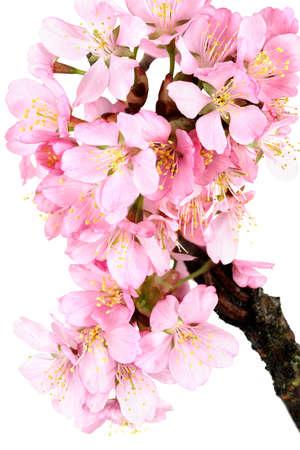 accolade: A spray of springtime cherry (accolade) blossoms