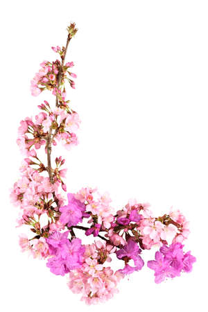accolade: Sprays of springtime cherry blossoms (Accolade) with azaleas