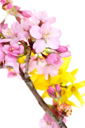 accolade: A spray of springtime cherry blossoms (Accolade) with forsythia Stock Photo