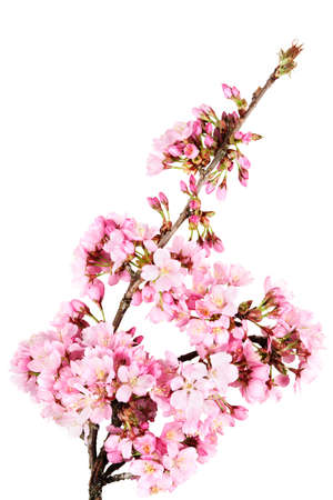 accolade: A curved branch of springtime cherry blossoms (prunus accolade)