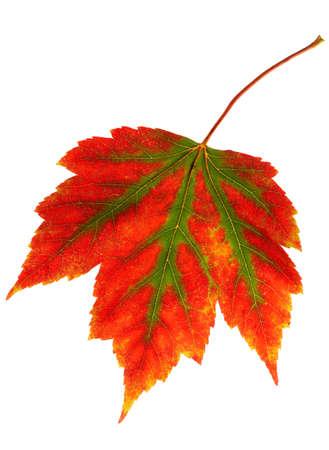 Fall colors creeping over a maple leaf Stock Photo
