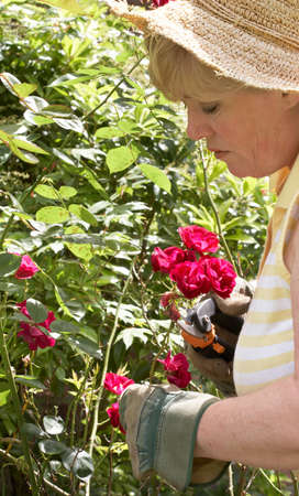 Pruning the climbing roses Stock Photo - 9975574