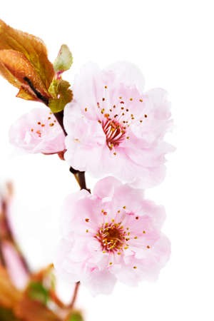 prunus cerasifera: Flowering tree blossoms, Purple Leaf Plum  (Prunus cerasifera - Thundercloud)