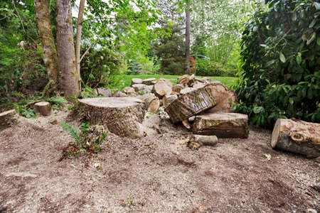 cottonwood tree: Cut pieces and stump from felled cottonwood tree