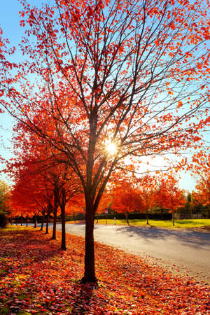 Afternoon sun lights up the last fall leaves on maple trees Stock Photo - 11295367