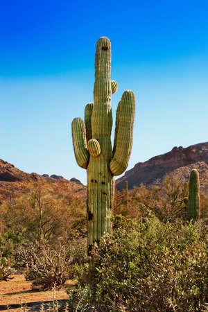 tonto national forest: Saguaro, chollo and spring greenery  of the Tonto National Forest, Arizona