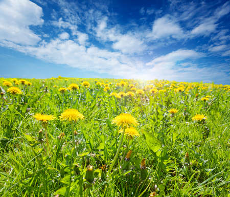 Sunny field of grass and dandelions on a Spring afternoon photo