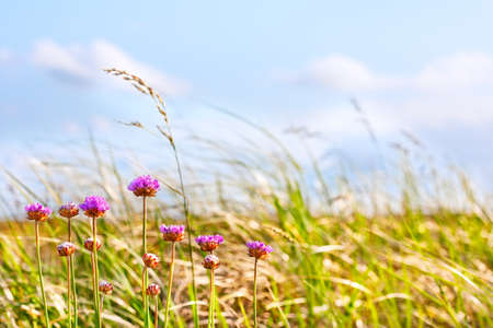 Flowers on a windy summer afternoon by the dune grasses, Long Beach Washington photo
