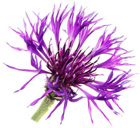centaurea: Purple Cornflower, isolated. Centaurea Montana