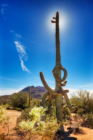 twisty: Old saguaro cactus with many gnarled and twisty arms