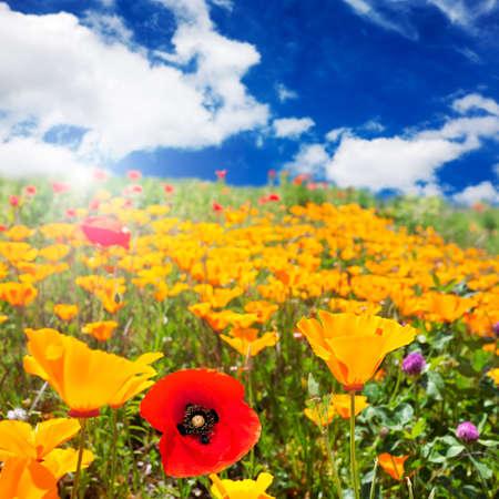 Poppy field in Spring sunshine photo