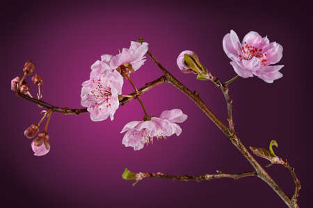 purple leaf plum: Blossoms from a flowering plum tree. With clipping path. Purple Leaf Plum  (Prunus cerasifera - Thundercloud) Stock Photo