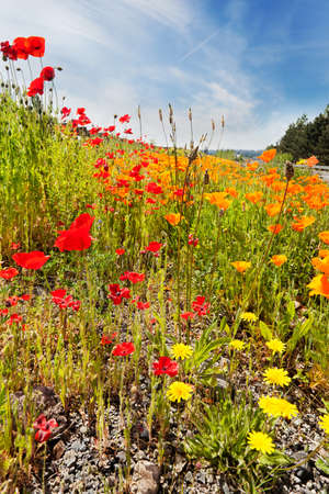 lupins: Roadside spring wildflowers - red & orange poppies, lupins, clover, daisies Stock Photo