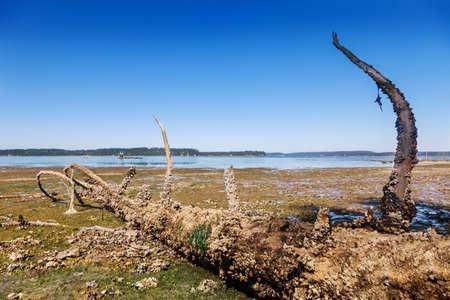 puget sound: Barnacle albero incrostato si siede su distese di fango con la bassa marea in Puget Sound, all'estremit� sud barche ormeggiate al largo di ostrica