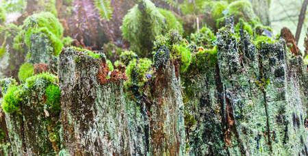 snag: Craggy edge of an old snag covered in moss and lichen forms a tall wall like boundary