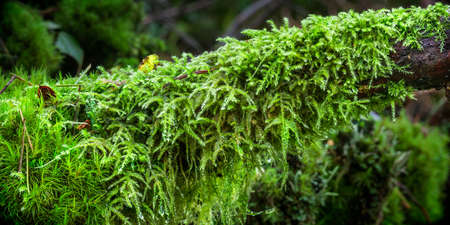 rains: Moss taking over a branch as the fall and winter rains soak the Pacific Northwest Stock Photo