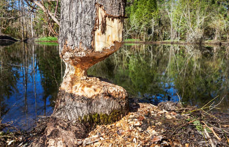 chewed: Beavers almost finished felling a tree by a stormwater retention pond