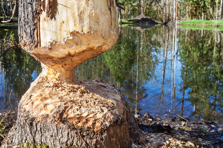 chewed: Beaver-damaged tree trunk by a stormwater retention pond