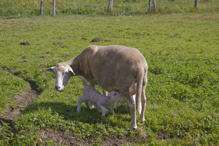 Lamp suckling its mother sheep Stock Photo
