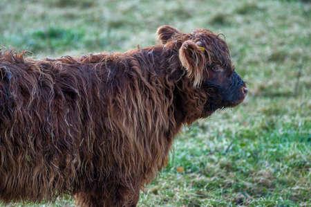 Scottish highland cow in its natural habitat.-