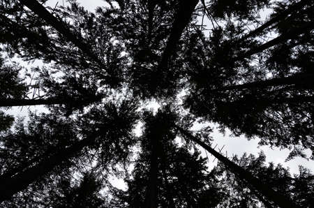 Skywards view of silhouette of trees in forest Stock Photo