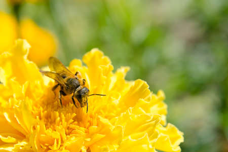 Honey bee collecting pollen on a yellow flower