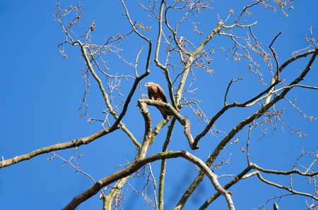 Black kite bird perched on naked tree branch