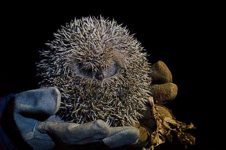 Hedgehog curled held on gloves at night, in Mangualde, Viseu, Portugal