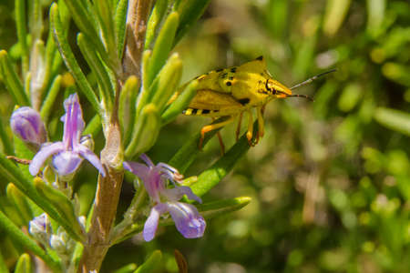 Yellow and black shield bug (pentatomidae) on a rosemary plant with lilac flowers, in Mangualde, Portugal