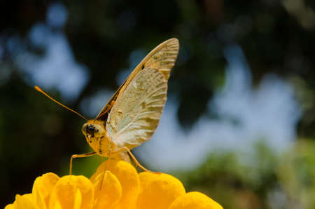 Argynnis butterfly sitting on a zinnia yellow flower