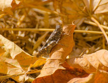 Grasshopper rock camouflage, Trimerotropis verruculata, on a dry leaf