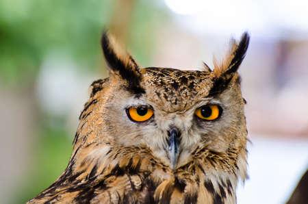 Head of eurasian eagle-owl (bubo bubo) in captivity