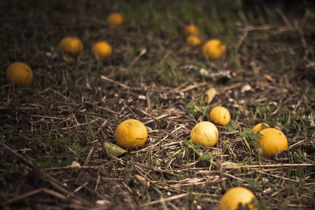 fallen fruit: oranges in ground who fallen from tree Stock Photo