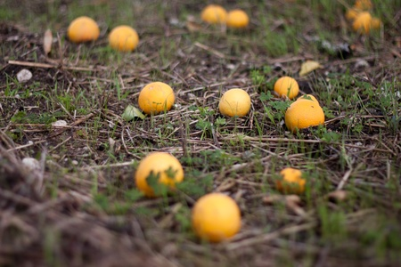 oranges in ground who fallen from tree Stock Photo - 12778814
