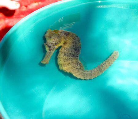 Isolated sea horse captured in Camocim, Ceara, Brazil 版權商用圖片