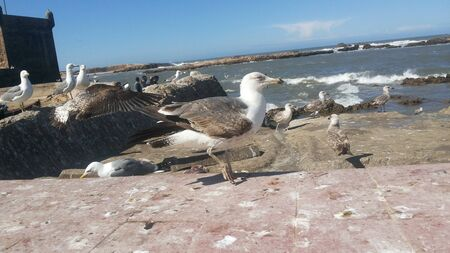 Seagull in the old fort of Essaouira, Morocco in a sunny day Stockfoto