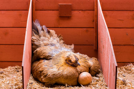 Laying red hen incubating eggs inside his cage
