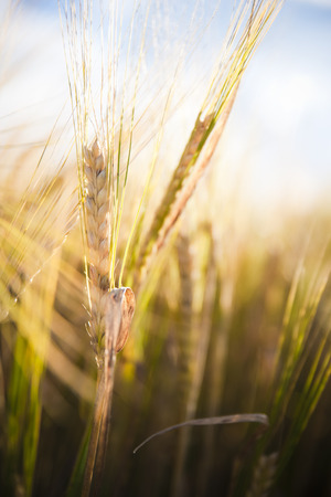 Wheat field. Ears of golden wheat close up in a rural scenery under Shining Sunlight. Background of ripening ears of wheat field. Stok Fotoğraf