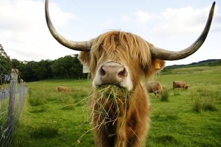 Schottische Kuh mit großen Hörnern Standard-Bild