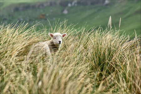 Lambs jumping among the grass in New Zealand.